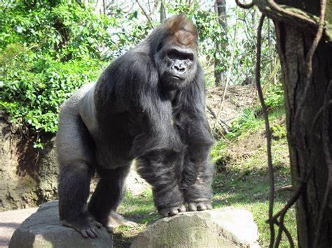 Gorilas dan positivo para covid-19