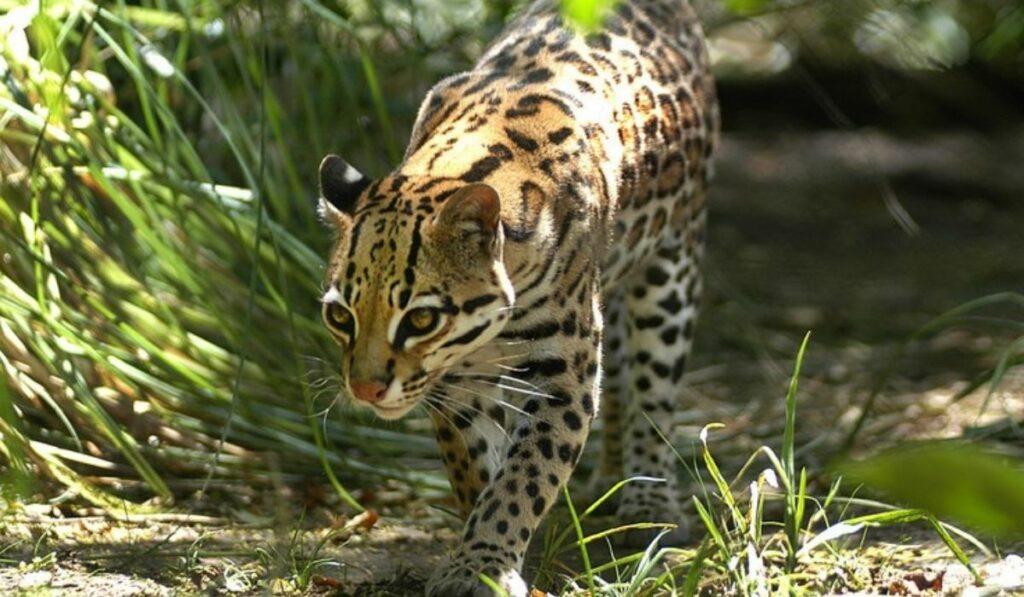 El yaguatirica: Felino en Uruguay es pieza clave del ecosistema