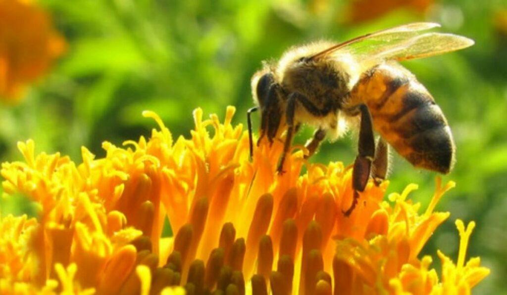 Las abejas en Colombia: Suspenden pesticidas que las mata