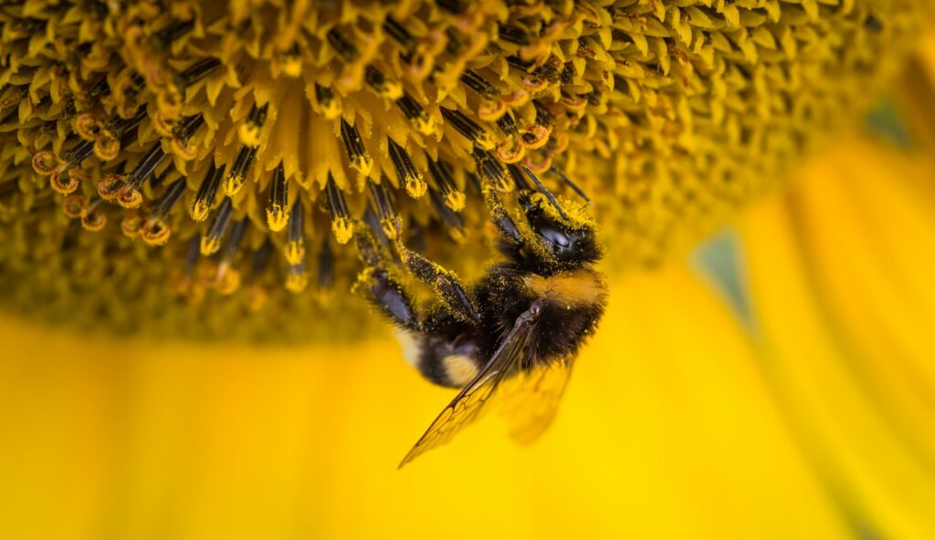 las abejas toman cafeína