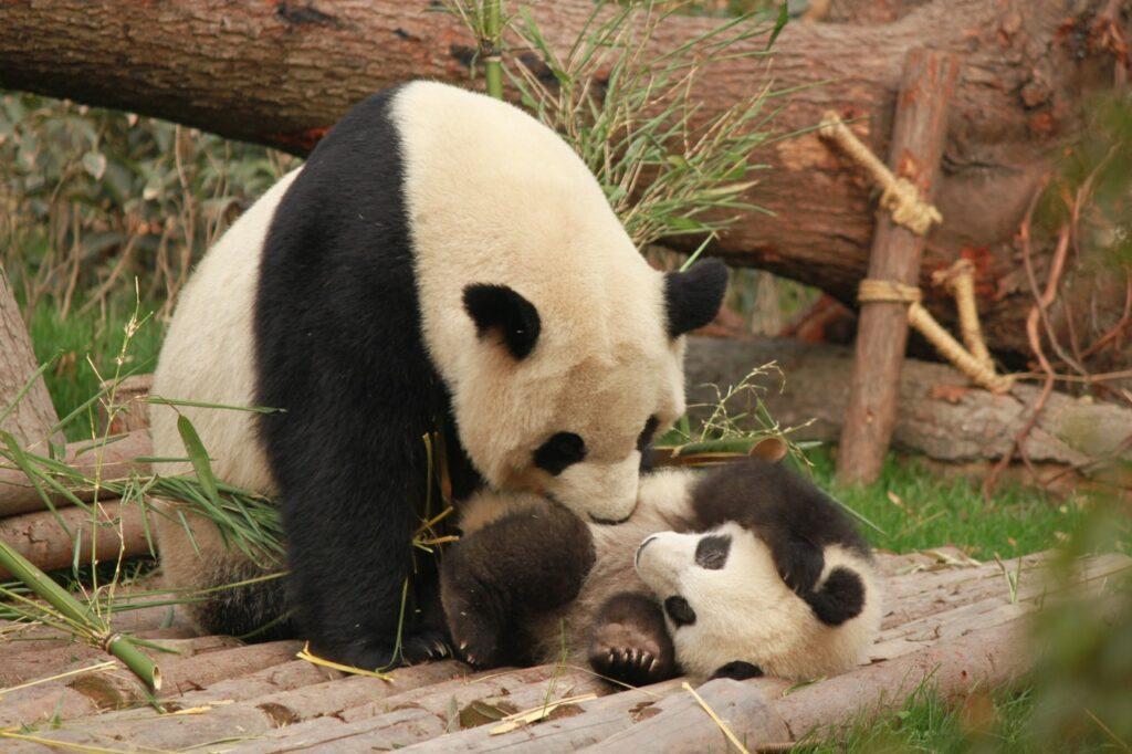 Estrategias para preservar al panda gigante