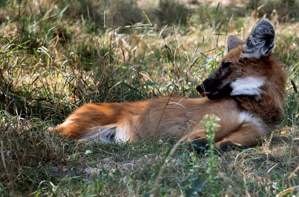 aguará guazú del guaraní zorro grande